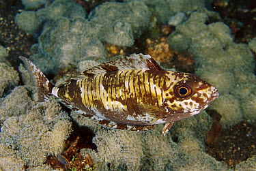 Barred Unicornfish (Naso thynnoides) resting on the reef at night, Bali, Indonesia  -  Fred Bavendam