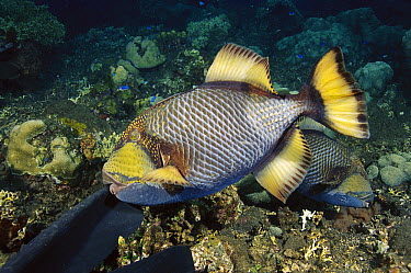 Titan Triggerfish (Balistoides viridescens) male attacking the fin of a diver who has come to close to its nest, Bali, Indonesia  -  Fred Bavendam