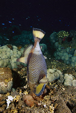 Titan Triggerfish (Balistoides viridescens) female blowing on her eggs to aerate them, Bali, Indonesia  -  Fred Bavendam