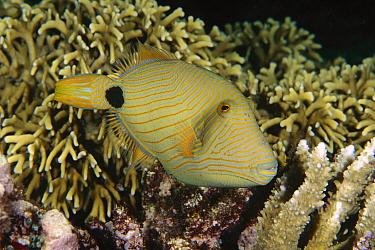Orange-striped Triggerfish (Balistapus undulatus), Bali, Indonesia  -  Fred Bavendam