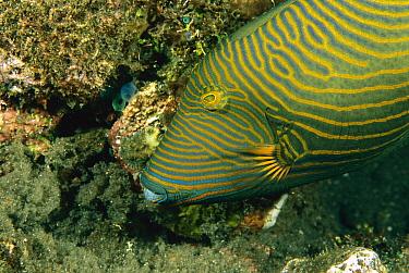 Orange-striped Triggerfish (Balistapus undulatus) with a clutch of freshly laid eggs, Bali, Indonesia  -  Fred Bavendam