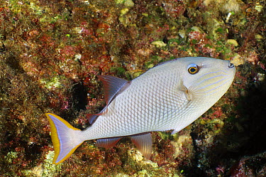 Crosshatch Triggerfish (Xanthichthys mento), Socorro Island, Mexico  -  Fred Bavendam