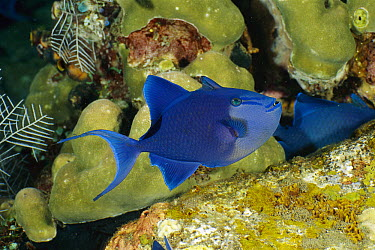 Redtoothed Filefish (Odonus niger), Bali, Indonesia  -  Fred Bavendam