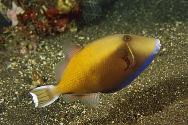 Halfmoon Triggerfish (Sufflamen chrysopterus), Bali, Indonesia  -  Fred Bavendam