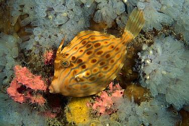 Mosaic Leatherjacket (Eubalichthys mosaicus) juvenile changing its coloration, Australia. Sequence 1 of 2  -  Fred Bavendam