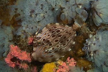 Mosaic Leatherjacket (Eubalichthys mosaicus) juvenile changing its coloration, Australia. Sequence 2 of 2  -  Fred Bavendam