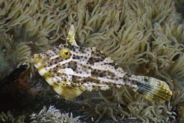 Strap-weed Filefish (Pseudomonacanthus macrurus) amid anemone tentacles, Lembeh Strait, Indonesia  -  Fred Bavendam