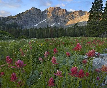 Mountain Indian Paintbrush (Castilleja parviflora) flowers, Albion Basin, Wasatch Range, Utah  -  Tim Fitzharris