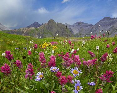 Mountain Indian Paintbrush (Castilleja parviflora) and daisies, Governor Basin, Colorado  -  Tim Fitzharris