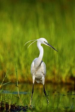 Little Egret (Egretta garzetta) in wetland, Moremi Game Reserve, Botswana  -  Richard Du Toit