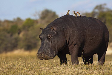 Hippopotamus (Hippopotamus amphibius) male with Red-billed Oxpecker (Buphagus erythrorhynchus) pair on back, Chobe National Park, Botswana  -  Richard Du Toit