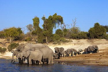 African Elephant (Loxodonta africana) herd drinking, Chobe National Park, Botswana  -  Richard Du Toit