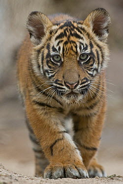 Sumatran Tiger (Panthera tigris sumatrae) cub, native to Sumatra  -  ZSSD