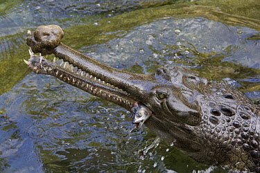 Gharial (Gavialis gangeticus) eating a fish, native to Asia  -  ZSSD