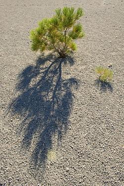 Jeffrey Pine (Pinus jeffreyi) seedlings growing in pumice, eastern Sierra Nevada, California  -  Kevin Schafer