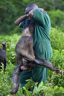 Chimpanzee (Pan troglodytes) rehabilitated individual playing with caretaker Stany Nyomolwi, Ngamba Island Chimpanzee Sanctuary, Uganda  -  Suzi Eszterhas