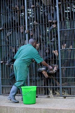 Chimpanzee (Pan troglodytes) rehabilitated group being fed by caretaker Stany Nyomolwi, Ngamba Island Chimpanzee Sanctuary, Uganda  -  Suzi Eszterhas