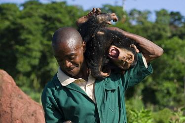 Chimpanzee (Pan troglodytes) rescued infant playing with veterinarian Fred Nizeyimana, Ngamba Island Chimpanzee Sanctuary, Uganda  -  Suzi Eszterhas