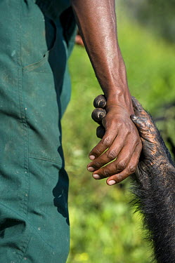Chimpanzee (Pan troglodytes) holding hand of caretaker, Ngamba Island Chimpanzee Sanctuary, Uganda  -  Suzi Eszterhas