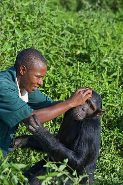 Chimpanzee (Pan troglodytes) being groomed by caretaker Bruce Ainebyona, Ngamba Island Chimpanzee Sanctuary, Uganda  -  Suzi Eszterhas