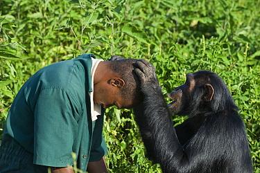 Chimpanzee (Pan troglodytes) rescued sub-adult female grooming caretaker Bruce Ainebyona, Ngamba Island Chimpanzee Sanctuary, Uganda  -  Suzi Eszterhas