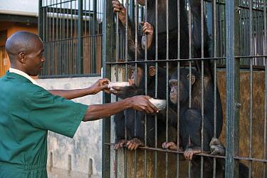 Chimpanzee (Pan troglodytes) group being fed by veterinarian Fred Nizeyimana, Ngamba Island Chimpanzee Sanctuary, Uganda  -  Suzi Eszterhas