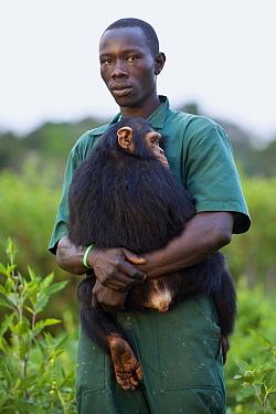 Chimpanzee (Pan troglodytes) rescued infant being carried by caretaker Rodney Lemata, Ngamba Island Chimpanzee Sanctuary, Uganda  -  Suzi Eszterhas