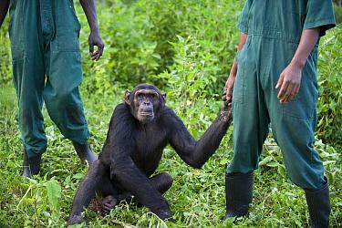 Chimpanzee (Pan troglodytes) playing with care taker, Ngamba Island Chimpanzee Sanctuary, Uganda  -  Suzi Eszterhas