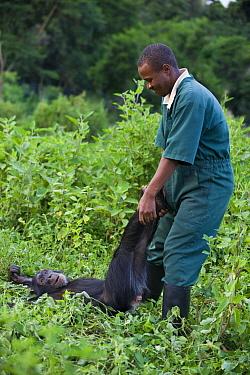 Chimpanzee (Pan troglodytes) playing with caretaker Bruce Ainebyona, Ngamba Island Chimpanzee Sanctuary, Uganda  -  Suzi Eszterhas