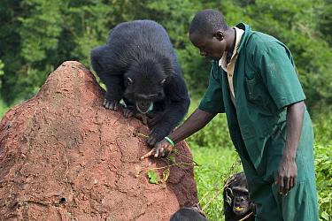 Chimpanzee (Pan troglodytes) being shown how to use twig to extract honey out of a hole by caretaker Rodney Lemata, Ngamba Island Chimpanzee Sanctuary, Uganda  -  Suzi Eszterhas