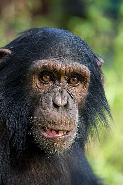 Chimpanzee (Pan troglodytes) infant, Ngamba Island Chimpanzee Sanctuary, Uganda  -  Suzi Eszterhas