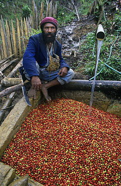 Coffee (Coffea arabica) harvest being washed, Papua New Guinea  -  Albert Lleal