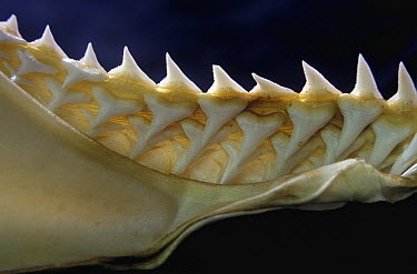 Blue Shark (Prionace glauca) lower jaw showing teeth  -  Albert Lleal