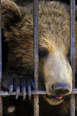 Brown Bear (Ursus arctos), captive gnawing on bars of cage, Spain  -  Albert Lleal