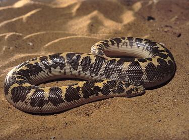 Kenya Sand Boa (Gongylophis colubrinus), Africa  -  Albert Lleal
