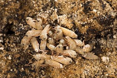 Egyptian Locust (Anacridium aegyptium) first instars hatching from earth, Africa  -  Ingo Arndt