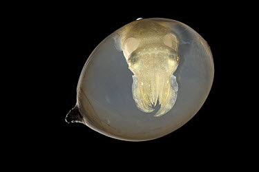 Common Cuttlefish (Sepia officinalis) in egg shortly before hatching, North Sea, Germany  -  Ingo Arndt