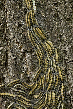 Oak Processionary Moth (Thaumetopoea processionea) caterpillars on oak tree, Germany  -  Ingo Arndt