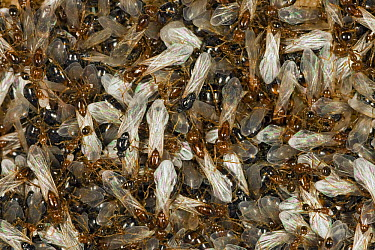 Red Imported Fire Ant (Solenopsis invicta) young virgin queens and males gather on the surface of the nest, native to South America  -  Ingo Arndt