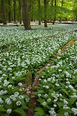 Wild Garlic (Allium ursinum) flowering in spring forest, Germany  -  Ingo Arndt