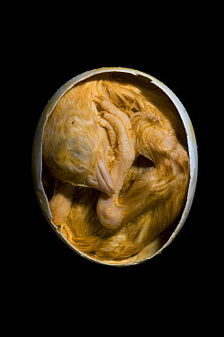 Domestic Chicken (Gallus domesticus) egg and fetus, Germany  -  Ingo Arndt
