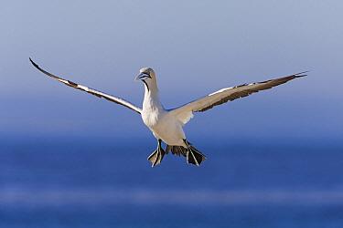 Cape Gannet (Morus capensis) flying, Lambert's Bay, South Africa  -  Ingo Arndt