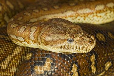 Carpet Python (Morelia spilota), Australia  -  Ingo Arndt
