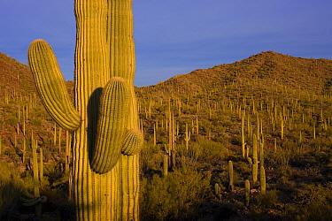 Saguaro (Carnegiea gigantea) cacti, Saguaro National Park, Arizona  -  Ingo Arndt