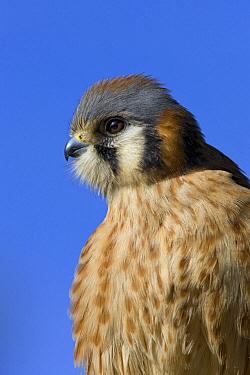 American Kestrel (Falco sparverius) male, Saguaro National Park, Arizona  -  Ingo Arndt