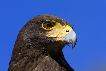 Harris' Hawk (Parabuteo unicinctus) portrait, Saguaro National Park, Arizona  -  Ingo Arndt