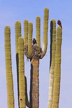 Harris' Hawk (Parabuteo unicinctus) pair at nest in Saguaro (Carnegiea gigantea) cactus, Saguaro National Park, Arizona  -  Ingo Arndt