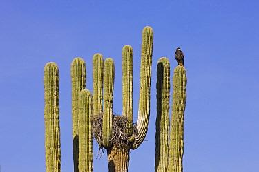 Harris' Hawk (Parabuteo unicinctus) at nest in Saguaro (Carnegiea gigantea) cactus, Saguaro National Park, Arizona  -  Ingo Arndt