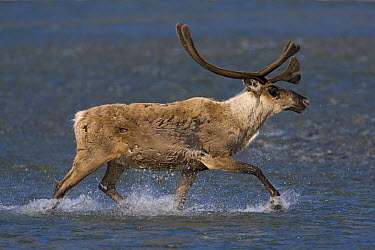 Caribou (Rangifer tarandus) bull crossing a river during summer migration, Arctic National Wildlife Refuge, Alaska  -  Ingo Arndt