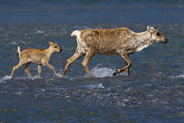 Caribou (Rangifer tarandus) mother and calf crossing a river during summer migration, Arctic National Wildlife Refuge, Alaska  -  Ingo Arndt